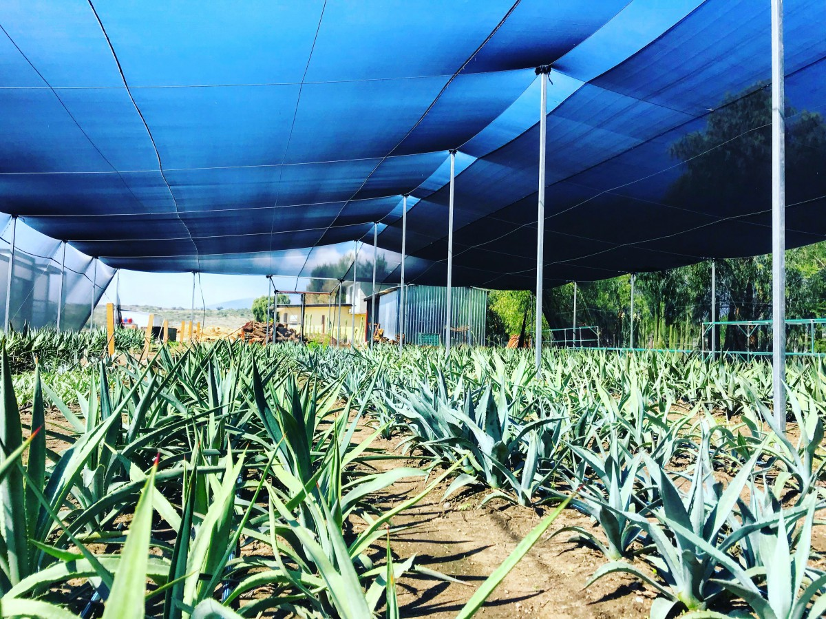 Proyecto Maguey Baby Agaves