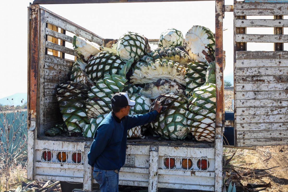Agave before and after harvest in Miahuatlan