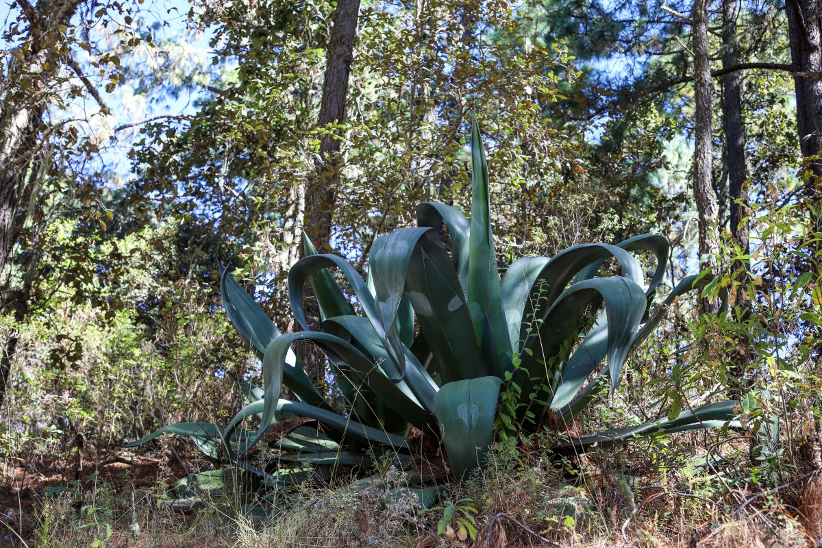 The queen of Agaves: a wild Tepeztate in Sierra Norte